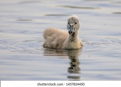 Mute swan cygnet on water