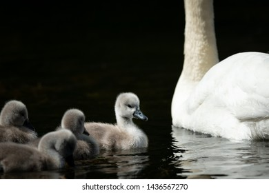 Mute swan cygnets (Cygnus olor) swimming on a sunny day in spring (Vienna, Austria)