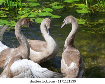 Mute swan cygnets stand together in the shallows of the River Avon, Avoncliff, UK
