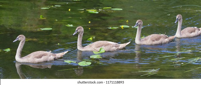 Mute swan cygnets swim in line on the River Avon, Avoncliff, UK