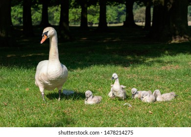 Mute swan (Cygnus olor) adult with cygnets, taken in the UK