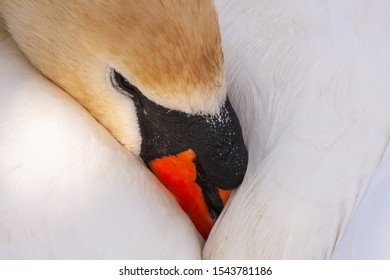 Mute swan, Cygnus olor, with beak tucked under wing resting peacefully. Grand Canal, Dublin, Ireland. Adult female pen with white feathers and orange beak