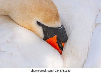 Mute swan, Cygnus olor, with beak tucked under wing resting peacefully. Grand Canal, Dublin, Ireland. Adult female pen with white feathers and orange beak.