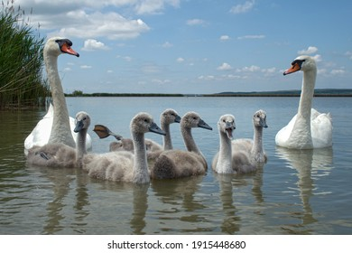 Mute swan (Cygnus olor) bird family with cygnets swimming together in lake Balaton, color photo No. 2.