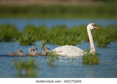 mute swan, cygnus olor, bohemia nature