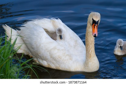 Mute swan, Cygnus olor. The chick sits on the mother's back, basking in her feathers