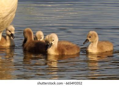 Mute swan (Cygnus olor) chicks - juvenile - fledglings - babies