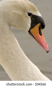 Mute Swan (Cygnus olor) closeup