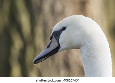 Mute swan (Cygnus olor) closeup portrait of head, in shade