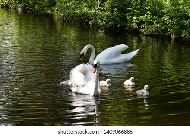 Mute Swan (Cygnus olor) couple, swimming with their babies (cygnets). Swans are birds of the family Anatidae within the genus Cygnus.