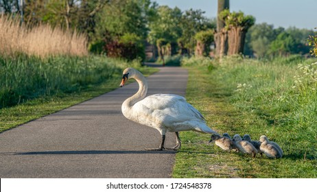 Mute Swan (Cygnus olor) crosses the road. Mother swan and chicks / cubs crosses the road. Mute swan (Cygnus olor) mother with  cygnets crosses the road.