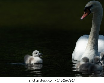 Mute swan (Cygnus olor) and crying cygnet on a sunny day in spring (Vienna, Austria)