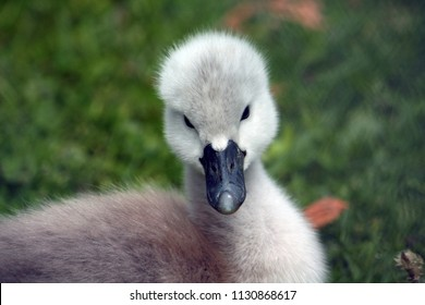 The mute swan (Cygnus olor). The cygnet.