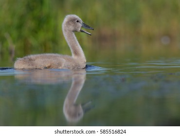Mute Swan - Cygnus olor - cygnet - at a small lake - Vilnius County, Lithuania