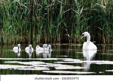 Mute Swan (Cygnus olor) with cygnets swimming