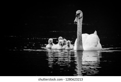 Mute Swan (Cygnus olor) with five young swans (Cygnets) on sunny Spring day in calm water, black and white