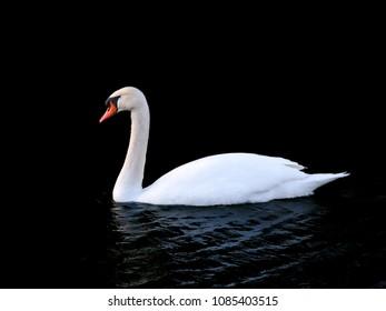 Mute Swan (Cygnus olor) floats on dark waters
