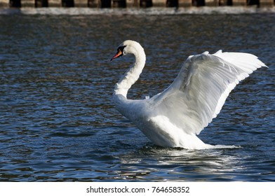 Mute swan (Cygnus olor) flopping its wings.