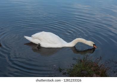 Mute Swan (Cygnus olor) in a Fresh Water Lake on a Winter's Day in Rural Devon Wetlands, England, UK