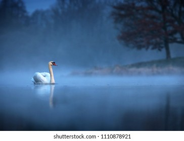 Mute swan (Cygnus olor) gliding across a mist covered lake at dawn. Amazing morning scene, misty morning, beautiful majestic swan on the lake in morning mist, fairy tale, swan lake, beauty