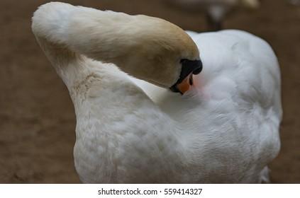A Mute Swan (Cygnus Olor) Grooming itself.