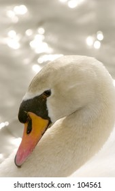 Mute Swan (Cygnus olor) head and neck arch closeup