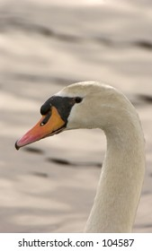 Mute Swan (Cygnus olor)  head and neck arch