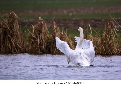 Mute Swan (Cygnus Olor) moving its wings on a lake