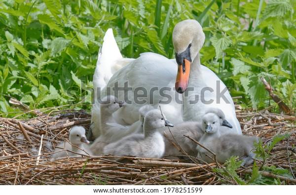 mute-swan-cygnus-olor-nest-600w-19782515
