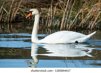 mute swan (Cygnus olor) nesting in a northern California lake