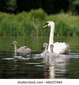 Mute Swan, cygnus olor - nestlings
