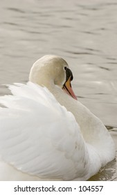 Mute Swan (Cygnus olor) on water, from behind showing arch of neck and wing position