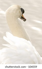 Mute Swan (Cygnus olor) on Water