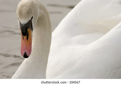 Mute Swan (Cygnus olor) on water, looking at camera