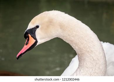 Mute Swan (Cygnus olor) in park, Abkhazia