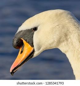 Mute Swan (Cygnus olor), portrait of an adult male, Galway, Ireland, (Eire).