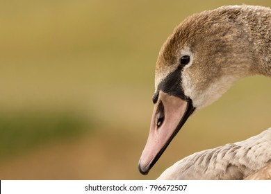 Mute swan (Cygnus olor) portrait, swan close up, juvenile brown swan