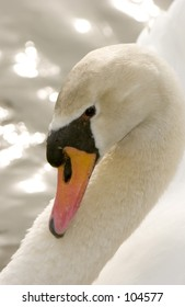 Mute Swan (Cygnus olor) profile showing arch of neck against angle of wing
