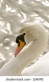 Mute Swan (Cygnus olor)  profile with graceful neck arch