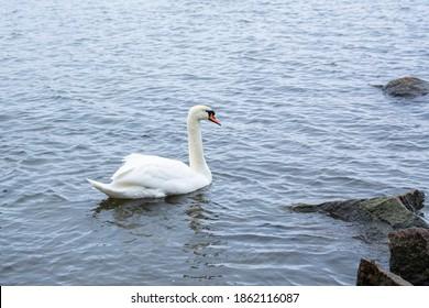 The mute swan (Cygnus olor) in the sea water, Seurasaari, Helsinki, Finland