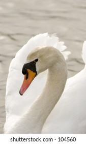 Mute Swan (Cygnus olor)  showing graceful neck arch against wings in background