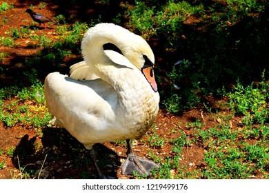 The mute swan (Cygnus olor) is a species of swan and a member of the waterfowl family Anatidae.