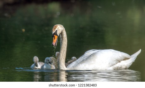 The mute swan (Cygnus olor) is a species of birds that belongs within the duck birds (Anatidae) to the genus of swans (Cygnus) and the subfamily of geese (Anserinae). Here to see with chicks.