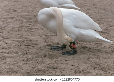 The mute swan (Cygnus olor) is a species of birds belonging to the genus of swans (Cygnus) and the subfamily of geese (Anserinae). Here he apparently wants to free himself from his marker ring.