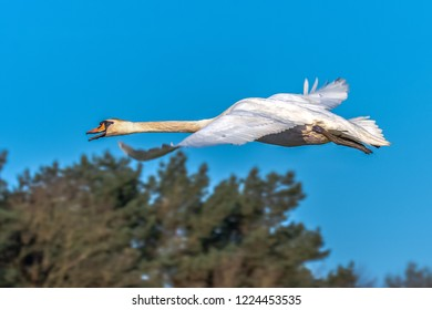 The Mute Swan (Cygnus olor) is a species within the duck birds (Anatidae) belongs to the genus of swans (Cygnus) and the subfamily of geese (Anserinae). See it here in flight. Concept: animals or bird