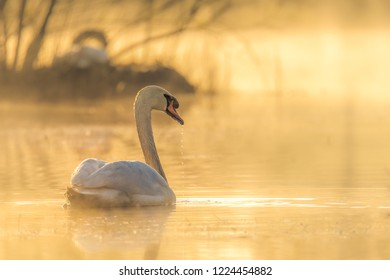 The Mute Swan (Cygnus olor) is a species within the duck birds (Anatidae) belongs to the genus of swans (Cygnus) and the subfamily of geese (Anserinae). Here on the water in the fog in the morning