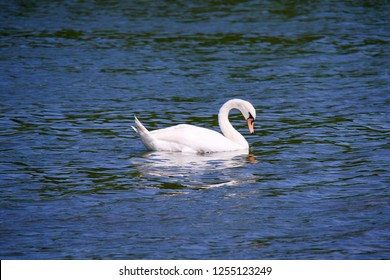 The mute swan (Cygnus olor) is a species of swan and a member of the waterfowl family Anatidae. White swan in the blue lake. Romantic background.