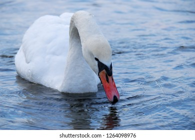 The mute swan (Cygnus olor) is a species of swan and a member of the waterfowl family Anatidae. White swan in the blue lake. Winter cold weather with snow and ice.