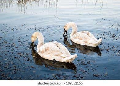The Mute Swan (Cygnus olor) is a species of swan, and thus a member of the waterfowl family Anatidae. Here are two young individuals feeding on seaweed.