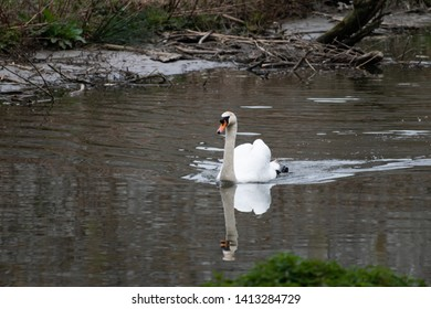 Mute swan, Cygnus olor; swimming in Maastricht city river. Natural wildlife in city park of Maastricht, The Netherlands